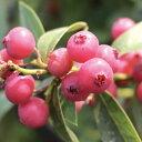果樹の苗/ブルーベリー:ピンクレモネード挿木苗5号ポット