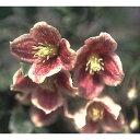 クレマチスの苗/クレマチス:日枝(ヒエ)4.5号ポット(冬咲き・シルホサ系)