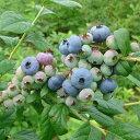 【ラッキーシール対応】果樹の苗/ブルーベリー:ブルーレイ5号ポット