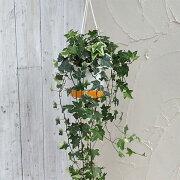 観葉植物/ヘデラ(アイビー):エスター5号ロング吊鉢仕立て