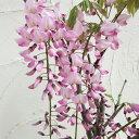 花木 庭木の苗/フジ(藤):ホンベニフジ(本紅藤)6号ポット