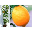 【ラッキーシール対応】果樹の苗/とげ無しレモン4〜5号ポット