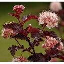 花木 庭木の苗/テマリシモツケ:サマーワイン5号ポット