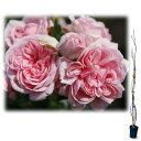 樹高約1.2m オールドローズの雰囲気を持つつるバラ