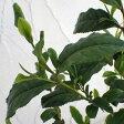 花木 庭木の苗/茶(チャ):やぶきた茶4〜5号ポット