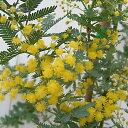 花木 庭木の苗/アカシア:ギンヨウアカシア3〜3.5号ポット[02P03Dec16]