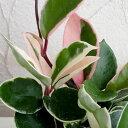 観葉植物/ホヤ カルノーサ:リップカラー3号ポット苗