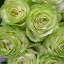 バラ 四季咲きパティオローズ