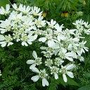 草花の苗/オルレア(オルレイヤ)3〜3.5号ポット2株セット