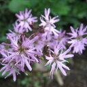 草花の苗/リクニス:フロスククリ3〜3.5号ポット2株セット