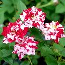 山野草の苗/極姫バラ:絞り咲き姫バラゼブラ3号ポット