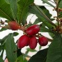 果樹の苗/[実を口に含むとレモンが甘くなる!実付きの大株]ミラクルベリー(ミラクルフルーツ)8号鉢植え