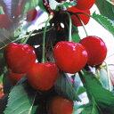 果樹の苗/サクランボ:べにしゅうほう(紅秀峰)接木苗4~5号ポット
