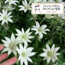 草花の苗/フランネルフラワー:エンジェルスター3.5号ポット