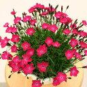 草花の苗/芳香四季咲きなでしこ:かほりスカーレット3号ポット3株セット