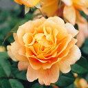輝くオレンジの波状弁花