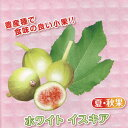 果樹の苗/甘~いミニイチジク:ホワイトイスキア3号ポット