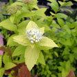 花木 庭木の苗/シモツケ:ホワイトゴールド3号ポット