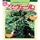 野菜の苗/プチヴェール 3号ポット12株セット
