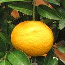 果樹の苗/ナツミカン4.5号ポット