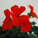 草花の苗/ゼラニウム:カリエンテオレンジ3.5号ポット2株セット