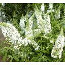 花木 庭木の苗/ブッドレア:ホワイトプロフュージョン(白花)...