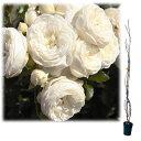 樹高約1.2m 四季咲き・アンティークタッチのバラ