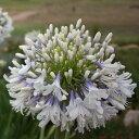 草花の苗/アガパンサス:クイーンマム5号ポット
