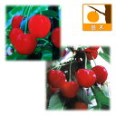 果樹の苗/サクランボ:紅秀峰と紅さやか4〜5号ポット