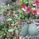 花木 庭木の苗/フェイジョア:マンモス樹高1m根巻き