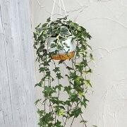 観葉植物/ヘデラ(アイビー):ゴールデンチャイルド5号ロング吊鉢仕立て