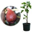 果樹の苗/鉢植え果樹 イチジク:ドーフィン7号鉢植え