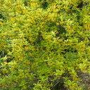 花木 庭木の苗/レンギョウ:斑入りレンギョウ5号ポット[02P03Dec16]