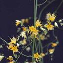 草花の苗/メラスフェルラ:ラモーサ3号ポット