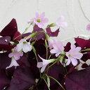 草花の苗/オキザリス トリアングラリス 紫の舞 3.5号ポット2株セット