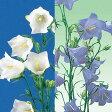 草花の苗/宿根カンパニュラ・桃葉ききょう花色ミックス3号ポット28株セット[02P03Dec16]