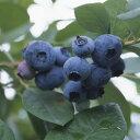 果樹の苗/ブルーベリー:はやばや星3号ポット