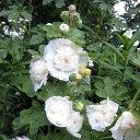 草花の苗/アルセア(タチアオイ):ダブルホワイト3号ポット3...