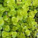 草花の苗/リシマキア ヌンムラリア オーレア3〜3.5号ポット6株セット