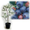 【ラッキーシール対応】果樹の苗/ブルーベリー:ホームベル 5号ポット