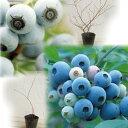 果樹の苗/ブルーベリー:ラビットアイ系2種セット(フクベリーとティフブルー)