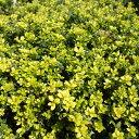 花木 庭木の苗/キンメツゲ(金目つげ)5号ポット