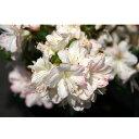 花木 庭木の苗/久留米ツツジ:アズマカガミ5号ポット5株セット