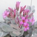カランコエ:プミラ(白銀の舞)4号鉢植え...