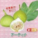 果樹の苗/甘~いミニイチジク:アーティナ3号ポット