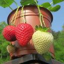 野菜の苗/イチゴ:らくなりイチゴ3号ポット12株セット