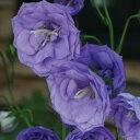草花の苗/カンパニュラ:ブルーデライト11cm角ポット 3株セット