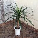 観葉植物/トックリラン7号鉢植え(樹高約65cm)