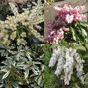 花木 庭木の苗/アセビ(馬酔木):魅力的な3品種4.5号ポットセット[02P03Dec16]