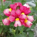 草花の苗/ネメシア:メロウサクラチーク3.5号ポット2株セット